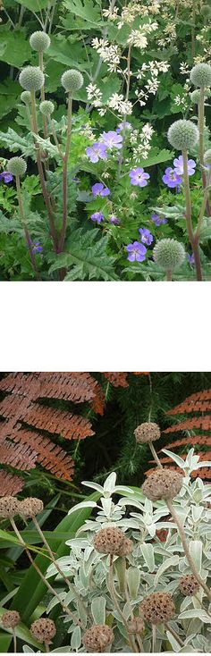 alliums, geranium, and lamb's ear and rust--beautiful -- must remember to interplant alliums and cranesbill geraniums in front garden next spring.