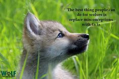 Wolf Misconceptions
