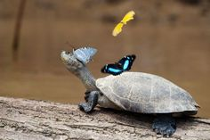 Turtle and Butterflies, Manu Park    Photograph by Byron Yu, My Shot      Taken during my trip to the Amazon in Manu Park, Peru. Most turtles swim away as soon as they see you, but it looks like this guy was having too much fun with his butterfly friends.
