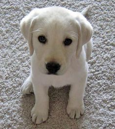 Louie the Labrador Retriever