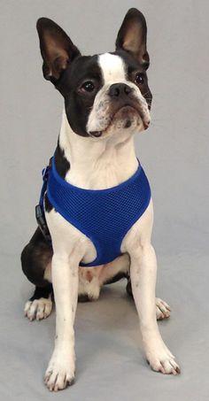 60 best Dog Harnesses images on Pinterest | Dog harness, Little dogs