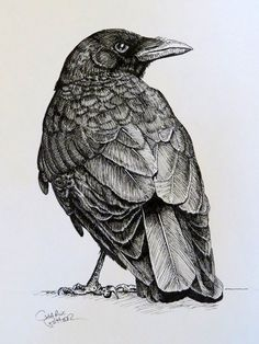 pen and ink drawing of crow. light strokes for light areas. pressured strokes for darker areas. somewhat of an outline. Crow Art, Raven Art, Bird Art, Ink Pen Drawings, Bird Drawings, Animal Drawings, Crows Drawing, Drawing Birds, Desenho Tattoo