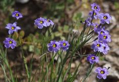 Sisyrinchium bellum, Blue-Eyed Grass is a iris like native plant. - grid24_12