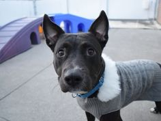 COCO - 18144 - - Brooklyn TO BE DESTROYED 01/16/18 **ON PUBLIC LIST** - Click for info & Current Status: http://nycdogs.urgentpodr.org/coco-18144/