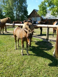 This young foal wants to follow her mother to the horse riding tour at Tihuse riding farm (Muhu island) Summer Travel, Horse Riding, Countryside, Tours, Horses, Island, Nature, Animals, Block Island