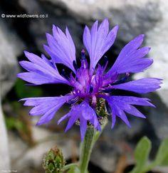 Centaurea cyanoides (דרדר כחול)  - an Israeli wildflower.