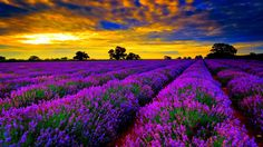 Most-beautiful-field-of-lavender-flowers-widescreen