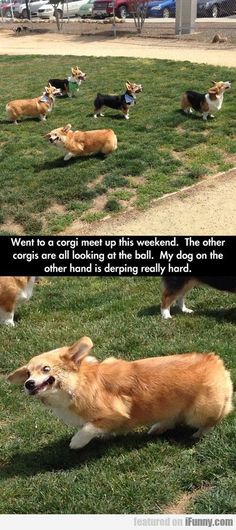 Went To A Corgi Meet Up This Weekend...