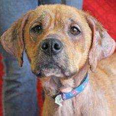 Layla is an adoptable Boxer Dog in Huntley, IL. Please visit the website and fill out an online application and then come on out. The How to Adopt page has directions, hours and adoption policies. W...