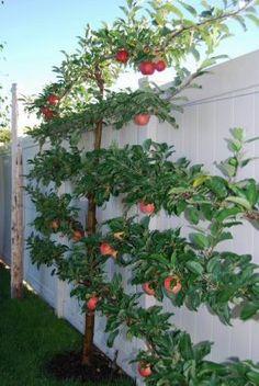 Beautiful fruit espalier along a fence | Kitchen vegetable garden | jardin potager | bauerngarten | köksträdgård