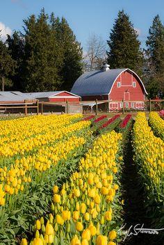 All Rows Lead to the Barn - Skagit Valley Tulip Festival, Washington