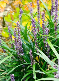Liriope muscari (big blue lily-turf) An extremely useful plant, which will tolerate a wide range of conditions including dry-shade and drought; perfect for edging small shady places. Evergreen dark-green blade like leaves. Deep violet flowers August to November. 40x45cm.