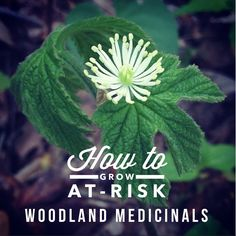 How to Cultivate At-Risk Woodland Medicinals {like Ginseng, Goldenseal + Bloodroot} // from Blog Castanea
