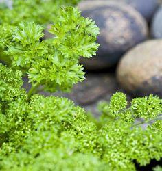kähäräpersilja - petroselinum crispum var crispum
