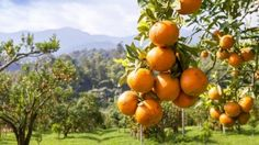 Getting the best out of your orange and lemon trees boils down to, feed, water and spray.