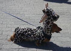 Best Dachshund costume!
