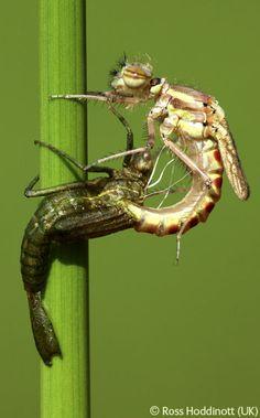 Damsel emerging - Ross Hoddinott - Wildlife Photographer of the Year 2006 : Behaviour: All Other Animals - Runner-up