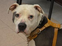 SAFE 5-8-2015 by Rescue Dogs Rock NYC --- Manhattan Center SPARTACUS – A1033719  NEUTERED MALE, GRAY / WHITE, AM PIT BULL TER MIX, 2 yrs OWNER SUR – EVALUATE, NO HOLD Reason NEW BABY Intake condition EXAM REQ Intake Date 04/20/2015