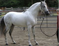 Show Horse Gallery - Marciano de Galileo. Andalusian