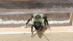 Canadian researchers use bees to drop pesticides on crops  (28.10.13)