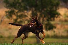 Kelpie Australian Shepherds, English Shepherd, Shepherd Dog, West Highland Terrier, Scottish Terrier, Rottweiler, Husky, Herding Dogs, Puppy Mills