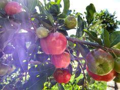 é época de acerola! Você conhece essa fruta e seus benefícios?