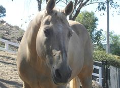 SKEETER'S TRIUMPH - A REBORN THYROID: Five years ago, shortly after we moved from California to middle Tennessee, Kathleen's (then) 24 year old Skeeter was diagnosed with a low thyroid. It was under-producing. He's been on thyroid medication ever since. We get his blood checked every six months to make sure things are still good… and until recently they had been. - See more at: http://thesoulofahorse.com/blog/skeeters-triumph-a-reborn-thyroid/
