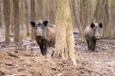 New at hunting wild hog? Try these simple tips to get started in hunting wild boar or feral pigs at Bass Pro Shops. Wild Boar Hunting, Pig Hunting, Bow Hunting Deer, Predator Hunting, Turkey Hunting, Hunting Stuff, Feral Pig, Hunting Supplies, Fauna