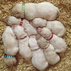 Lab Puppies, so sweet! Animal Z, Animal Logic, Love Pet, Puppy Love, Cute Puppies, Dogs And Puppies, Lhasa Apso, Proud Mom, Little Dogs