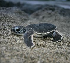 Baby Sea Animals | Edge Of The Plank: Cute Animals: Baby Sea Turtles
