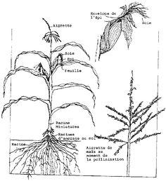Encyclopédie de L'Agora | Maïs