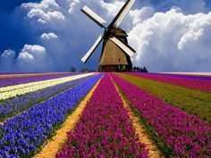 Tulip field, Holland. Have been to Holland, but have never seen the tulip fields in bloom.