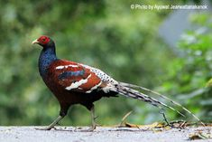 Mrs Hume's Pheasant or Bar-tailed Pheasant (Syrmaticus humiae) -  Found in China, Myanmar, Thailand, as well as Northern Burma and Northeastern India. Near threatened species.