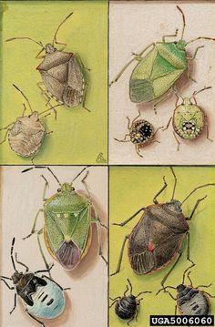 Shield Bugs, Art Cushman