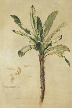 Tropical Banana Palm - Fabrice De Villeneuve Poster :: PicassoMio