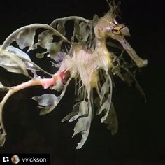#spiritanimal 🦄✨🐟✨💜 #Repost @vvickson with @repostapp ・・・ A Leafy Seadragon. Gorgeous.