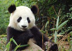 Pandas – precious cutie or evolutionary dead-end? « Earth Baby