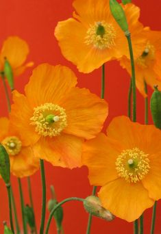 21 Ideas for Perfect Dream Garden Fall Flowers Poppies by Redscape Flowers Orange Colorful Roses, Orange Flowers, Beautiful Flowers, Happy Flowers, Red Poppies, Cut Flowers, Orange Poppy, Orange Color, Orange Shades