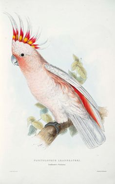 1830's LEADBEATERS COCKATOO PRINT by Edward Lear by lordsvalley