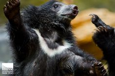 Woodland Park Zoo Blog: Checking in with the sloth bear cubs