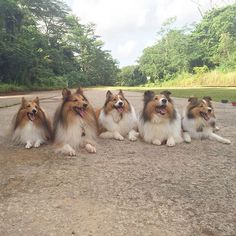 I was nominated by @momo_the_happy_shihtzu to do the #lookaway #lookawaylook challenge. This is too Easy! I have 5 times look away look...  This was taken last Outing. #tbt #throwbackthursday #throwbackthursdays @kookysheltie  @spirit_the_sheltie  @mangothesheltie  @_wafflesthesheltie
