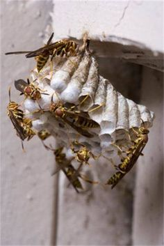 Fun Facts About Wasps! -Wasps live everywhere but Antarctica. -Wasps can sting over and over again. -Wasps make nests from paper. They chew up strips of bark and spit it out again to form a rough paper. Some wasps make nests in basements, sheds or dark, cool places.  Call A1 Bee Specialists in Bloomfield Hills, MI today at (248) 467-4849 to schedule an appointment if you've got a stinging insect problem around your house or place of business! You can also visit www.a1beespecialists.com!