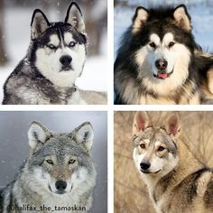 How can you tell a Siberian husky apart from an Alaskan malamute, or a Tamaskan from a wolf? Clockwise from top: Husky, Malamute, Tamaskan, wolf