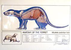 Ferret Anatomy Poster