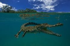 The Salt Water Crocodile Photo by SERGIO RICCARDO -- National Geographic Your Shot