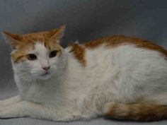 LINDA – A1098077 SPAYED FEMALE, ORANGE / WHITE, DOMESTIC SH MIX,3 yrs Came in with: TOM – A1098078 NYCACC