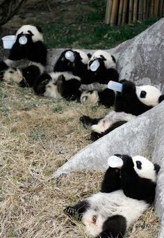 Cute baby pandas drinking milk from the feeder bottle .... click on pictures to see more