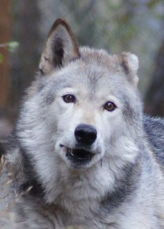 Wolf Sanctuary -    Today's resident spotlight is Tala! She is a female born March 1, 2000 in Washington and given her second chance at W.O.L.F. on July 28, 2000. Tala enjoys spending her days with her companion Tonka although they were saddened to lose their companion Meeka in 2013. They are reserved and shy but enjoy regular treats and meat days! Read more about her on our website!