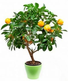 Alternative Gardning: How to grow Small Tangerines Trees in pots