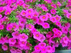 Beautiful Suntory Flowers